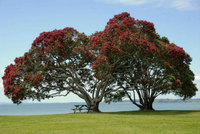 Похутукава - рождественское дерево Новой Зеландии