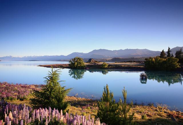 Сказочные люпины на озере Текапо