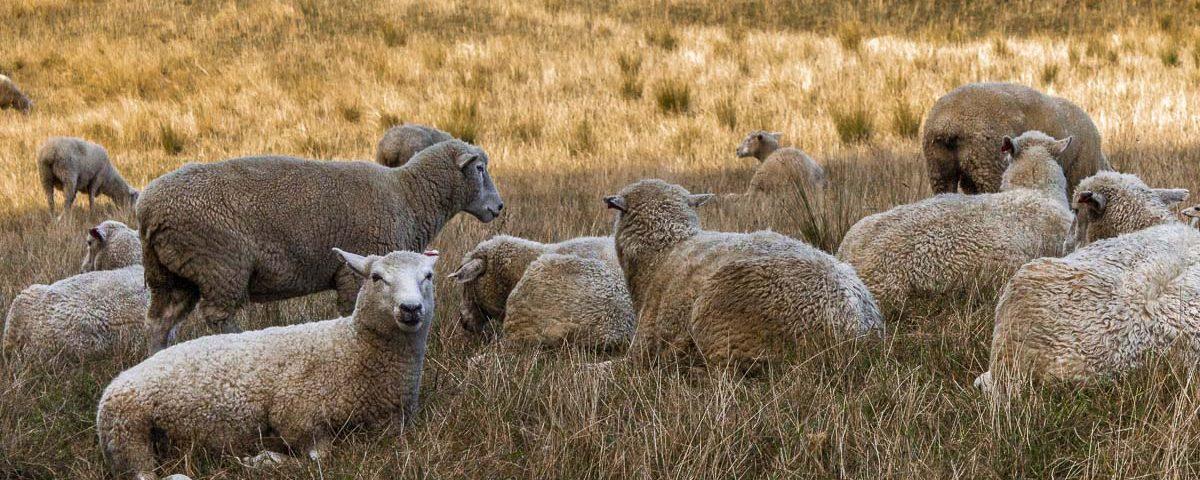 Овцы на холме One Tree Hill
