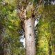 Дерево каури