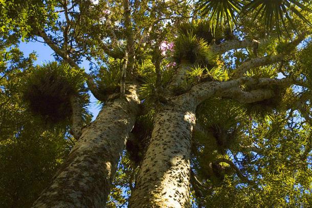 Деревья Новой Зеландии: каури