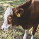Корова с биркой на ухе