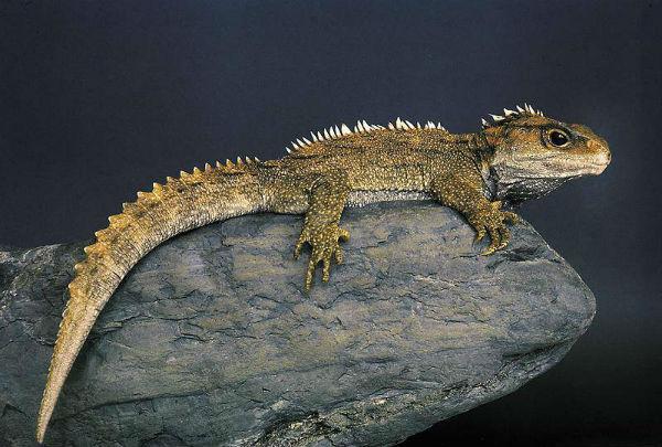 Гаттерия (туатара) - рептилия, пережившая динозавров