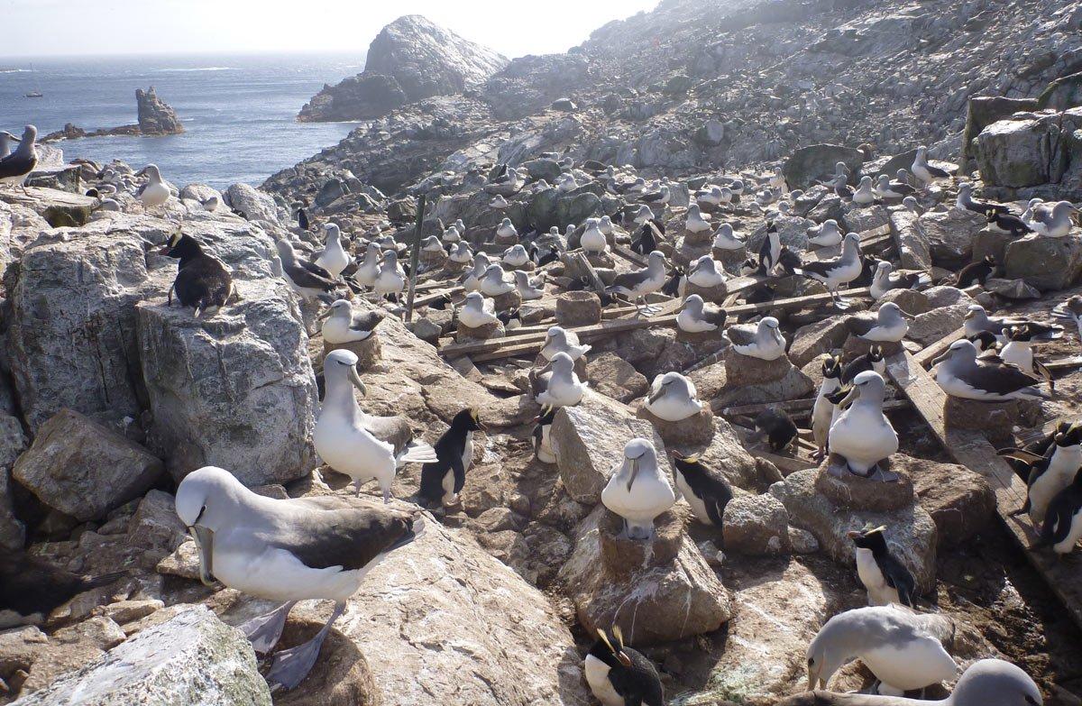 Колония альбатросов