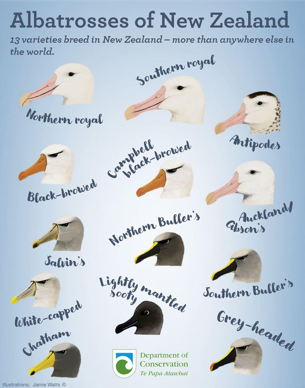 Альбатросы Новой Зеландии