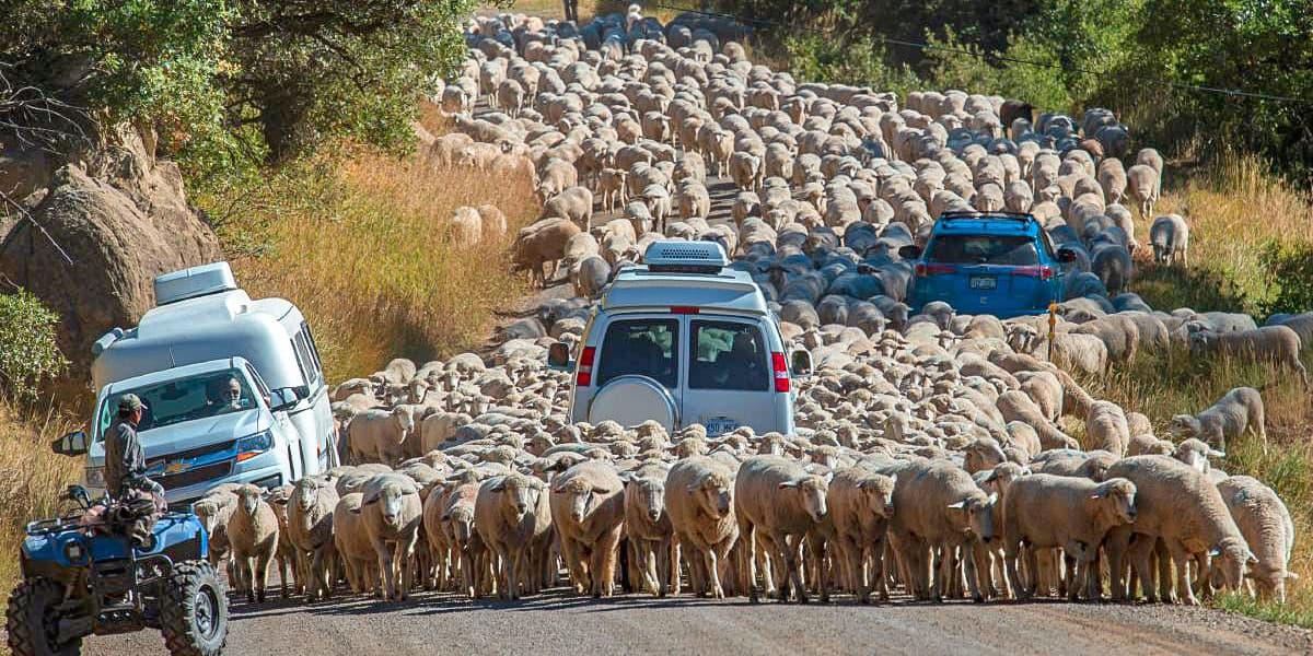 Пробка из овец на дороге в Новой Зеландии